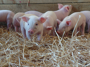 Piglets from Godstone Farm!